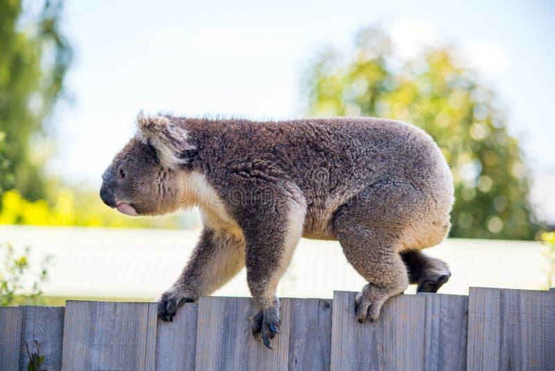 Uma coala que anda ao longo de uma cerca imagens de stock royalty free