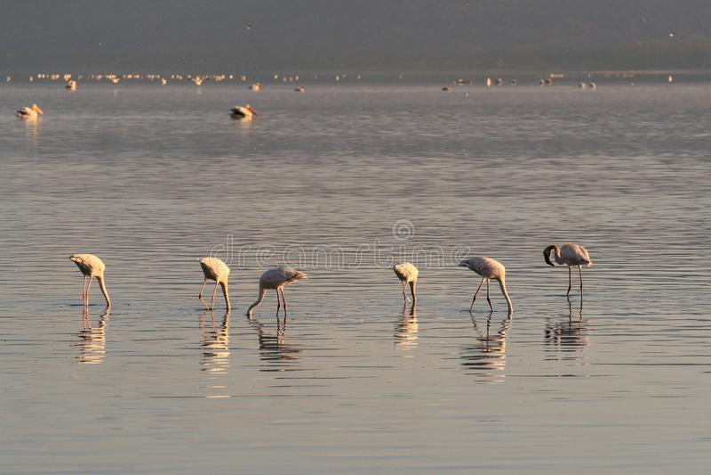 Uma colônia de buscas cor-de-rosa dos flamingos para moluscos e peixes nas águas do lago Lago Nakuru, Kenya imagem de stock