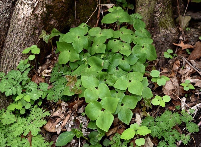 Uma colônia do hepatica lobed afiado planta o crescimento em um assoalho da floresta fotos de stock