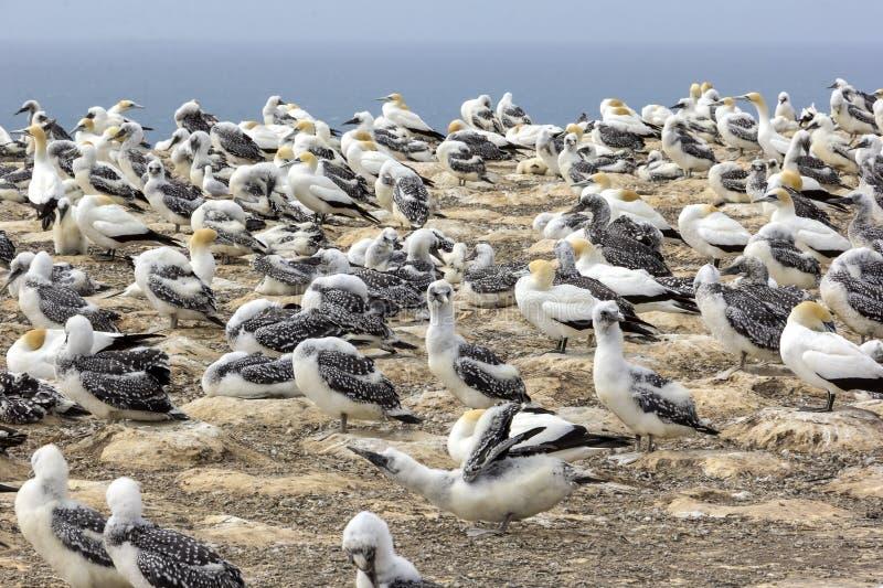 Uma colônia dos albatrozes, com seus pintainhos Olhado em Nova Zelândia fotos de stock royalty free