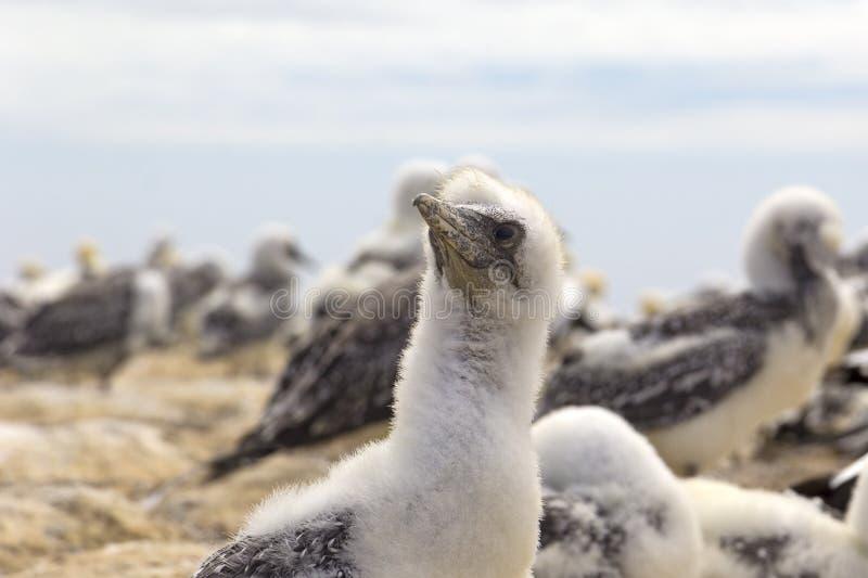 Uma colônia dos albatrozes, com seus pintainhos Olhado em Nova Zelândia fotografia de stock royalty free