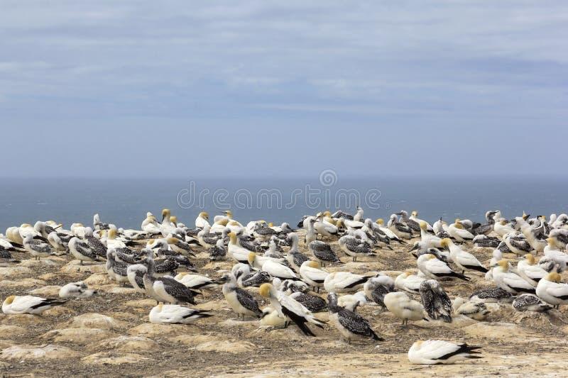 Uma colônia dos albatrozes, com seus pintainhos Olhado em Nova Zelândia imagem de stock