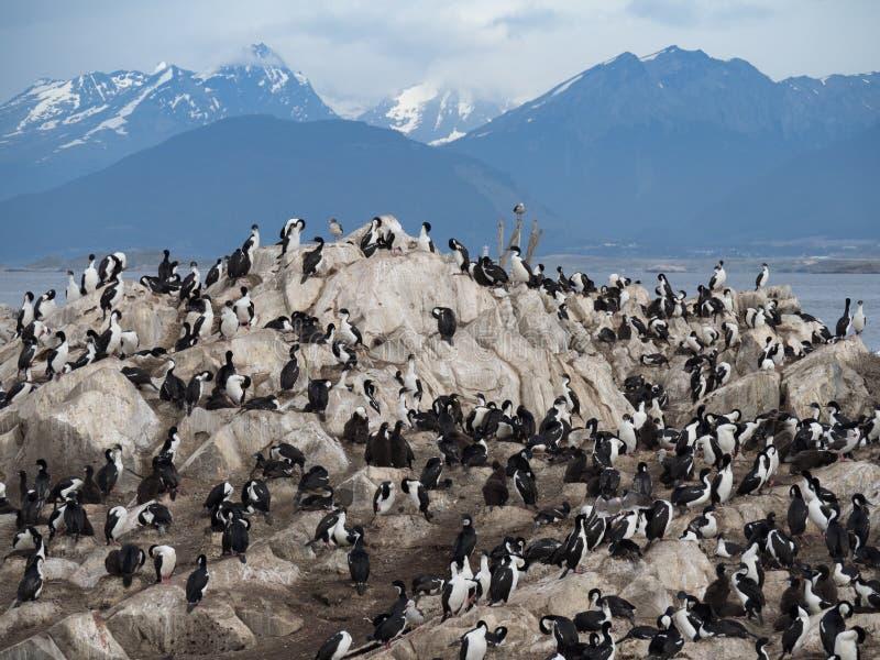 Uma colônia dos cormorões com montanhas nevado fotos de stock royalty free