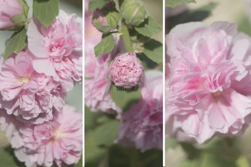 Uma colagem das fotos, com flores, delicadamente flores cor-de-rosa, grupo imagem de stock
