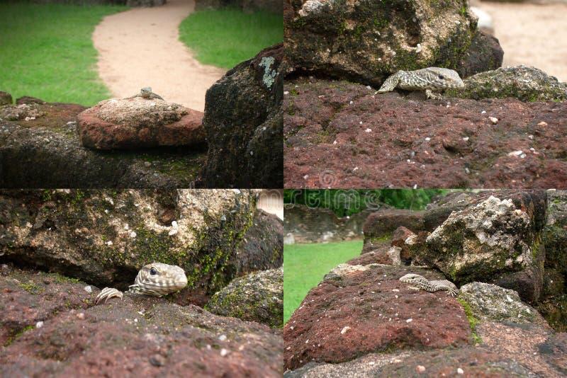 Uma colagem de quatro fotos de um lagarto do geco que esconde nas rochas fotos de stock