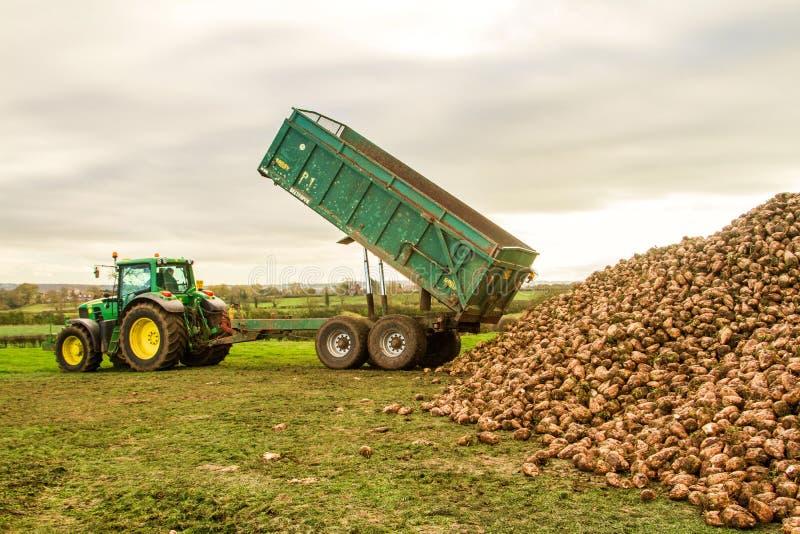 Uma colheita da beterraba em andamento - o trator e o reboque descarregam beterrabas fotografia de stock royalty free