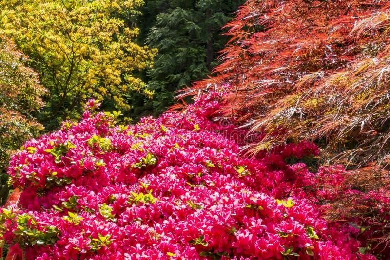 Uma combinação maravilhosa de cores da mola no jardim japonês em Haia, Países Baixos foto de stock royalty free