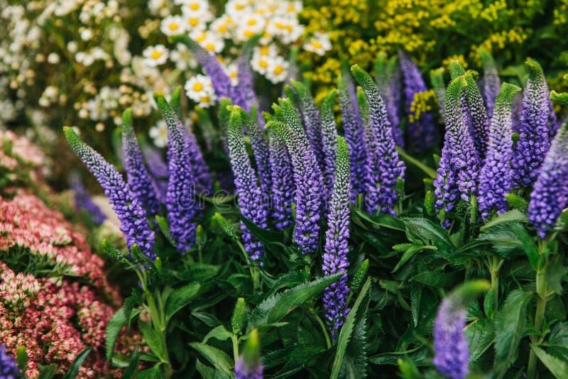 Uma composição bonita do verão das flores chamou o Veronica e a camomila e os outros wildflowers em um dia ensolarado imagem de stock royalty free
