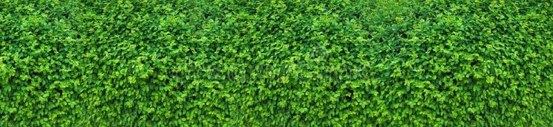 Uma conversão grossa da mola, um motivo decorativo da mola Panorama dos milhares consistindo da parede verde de folhas pequenas imagem de stock royalty free