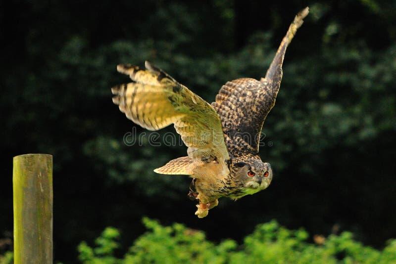 Uma coruja de águia foto de stock royalty free