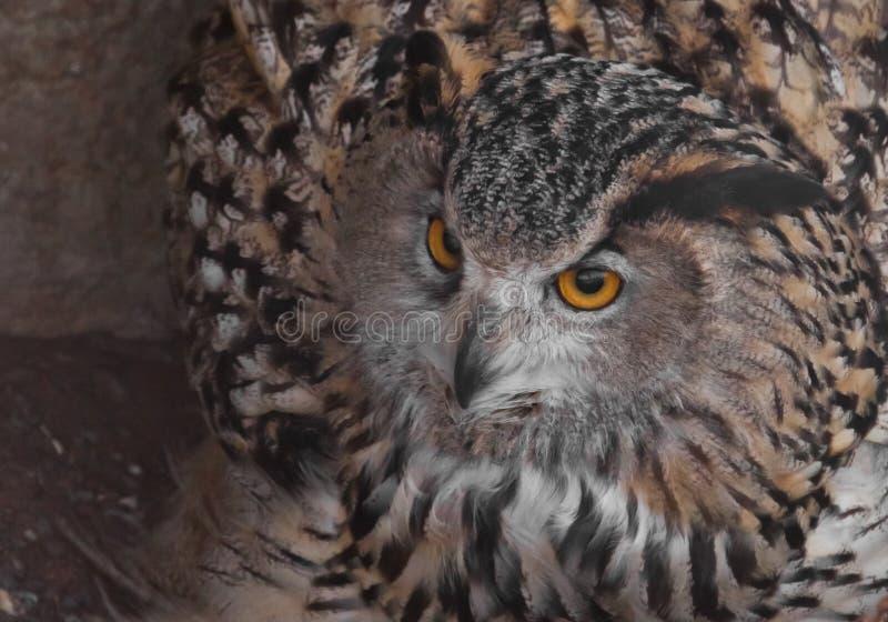 Uma coruja de águia está olhando A coruja com olhos claros e um olhar irritado ? uma grande coruja predat?rio imagens de stock