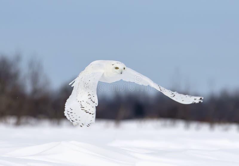 Uma coruja nevado que voa a baixa caça sobre um campo de milho nevado ensolarado aberto em Ottawa, Canadá fotos de stock