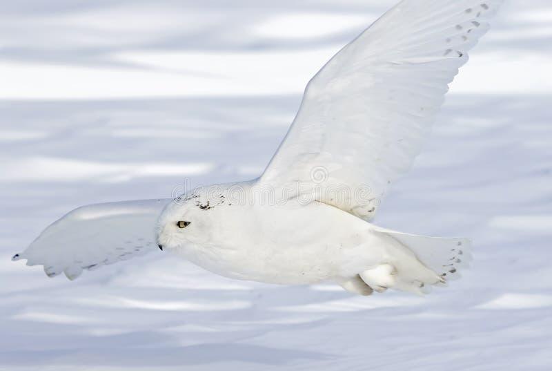 Uma coruja nevado voa a baixa caça sobre um campo de milho nevado ensolarado aberto em Ottawa, Canadá fotografia de stock royalty free