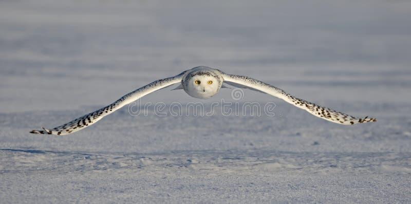 Uma coruja nevado voa a baixa ca?a sobre um campo de milho nevado ensolarado aberto em Ottawa, Canad? foto de stock