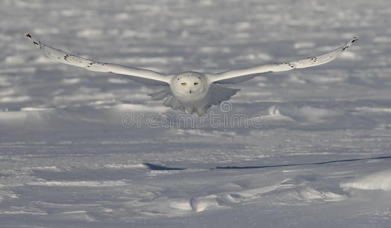 Uma coruja nevado voa baixo sobre um campo nevado aberto em Ottawa, Canadá foto de stock