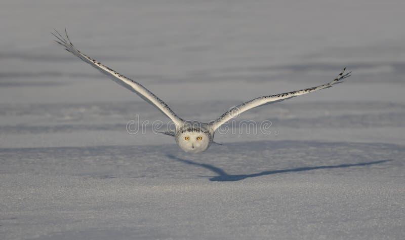 Uma coruja nevado voa baixo sobre um campo nevado aberto em Ottawa, Canad? imagens de stock royalty free
