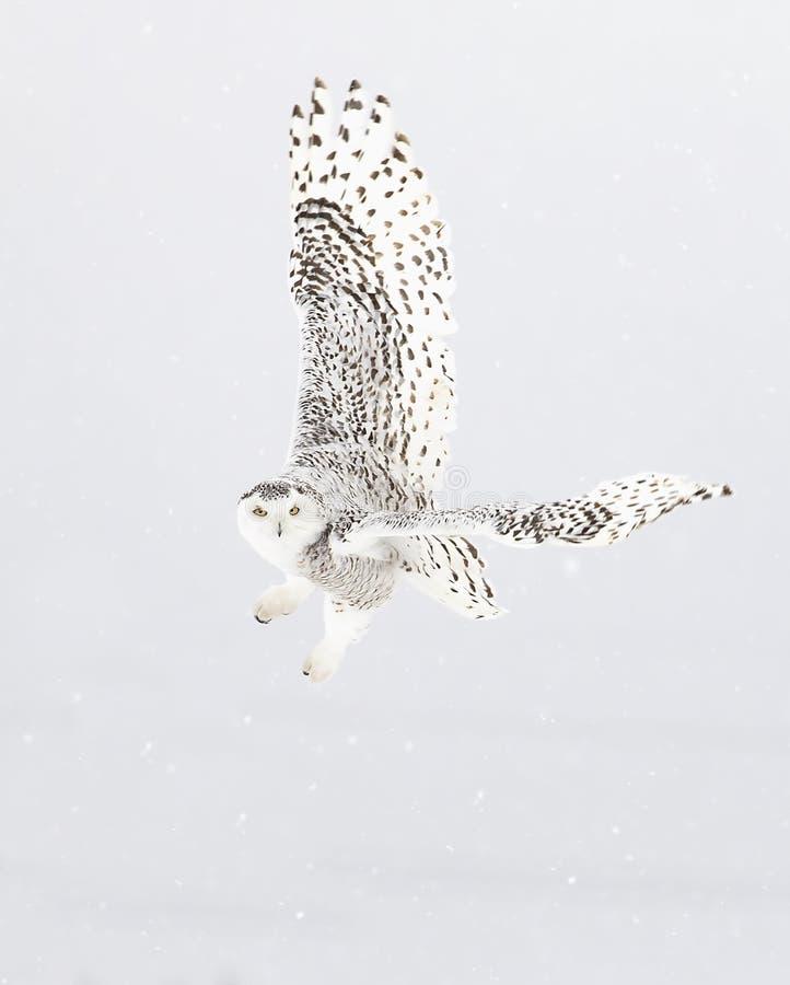 Uma coruja nevado voa baixo sobre um campo nevado aberto em Ottawa, Canad? fotos de stock