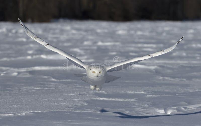 Uma coruja nevado voa baixo sobre um campo nevado aberto em Ottawa, Canad? imagens de stock