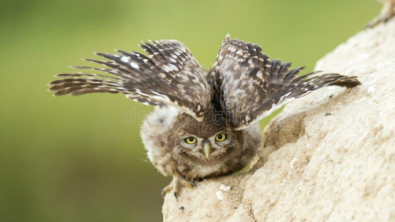 Uma coruja pequena nova está perto de seu furo e espalha suas asas foto de stock royalty free