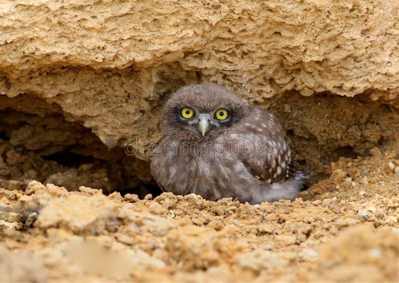 Uma coruja pequena nova olha o fotógrafo do abrigo perto do ninho foto de stock royalty free