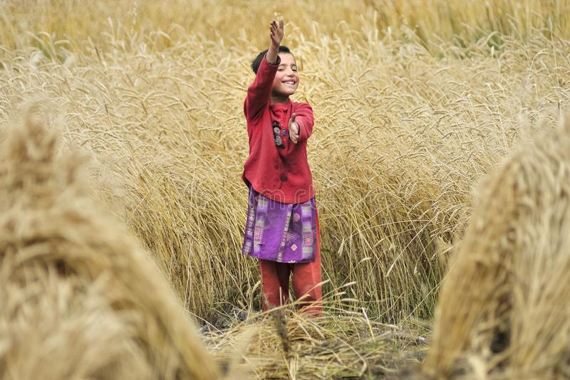 Uma criança que trabalhe e recolha a grão do campo fotos de stock