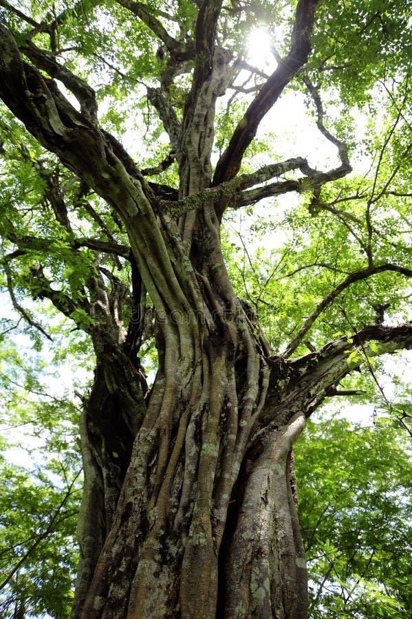 Uma de muitas árvores de Banyon em Playa Panamá em Guanacaste, Costa Rica imagem de stock royalty free