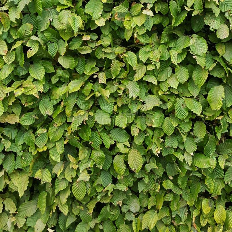 Uma doença de fungo do jardim, nas folhas verdes Planta danificada doença Patologia de planta foto de stock royalty free