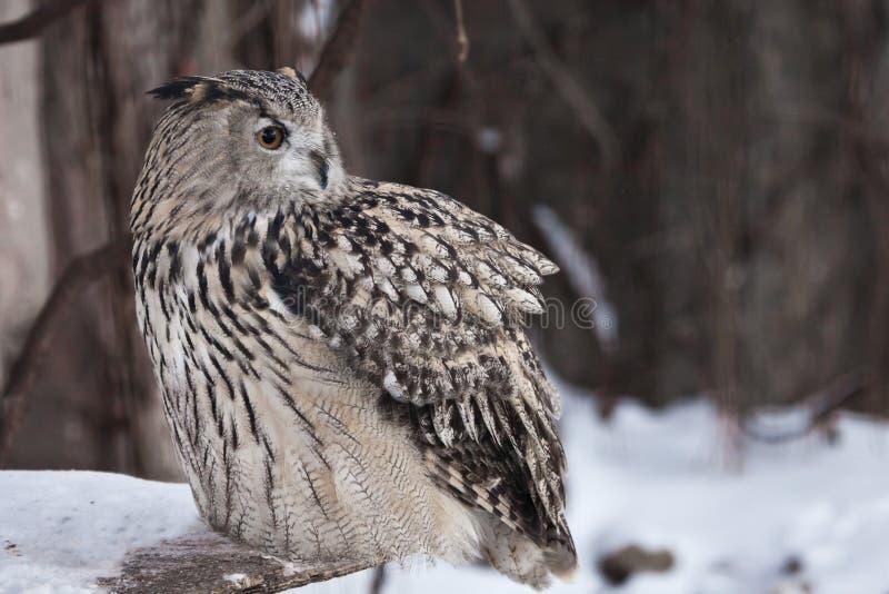 Uma eagle-coruja euro-asiática da grande coruja senta-se em um fundo nevado imagem de stock