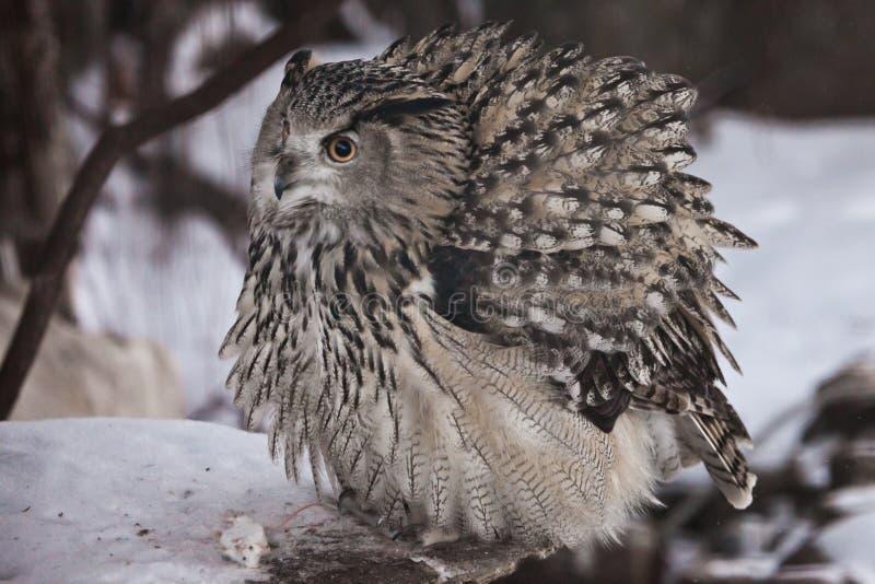 Uma eagle-coruja euro-asiática grande da coruja de águia da coruja senta-se em um fundo nevado imagem de stock royalty free
