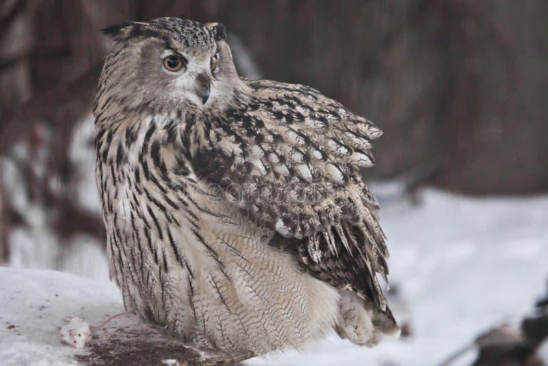 Uma eagle-coruja euro-asiática grande da coruja de águia da coruja senta-se em um fundo nevado imagem de stock