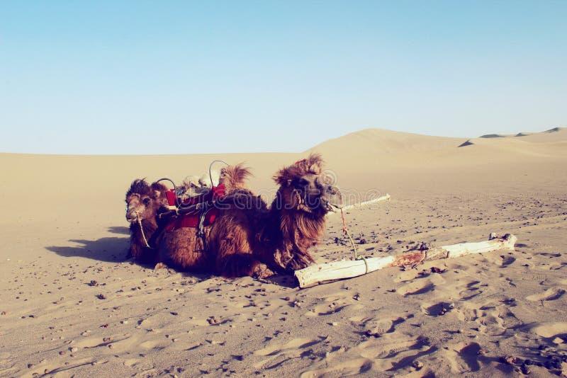Uma equipe do camelo imagem de stock