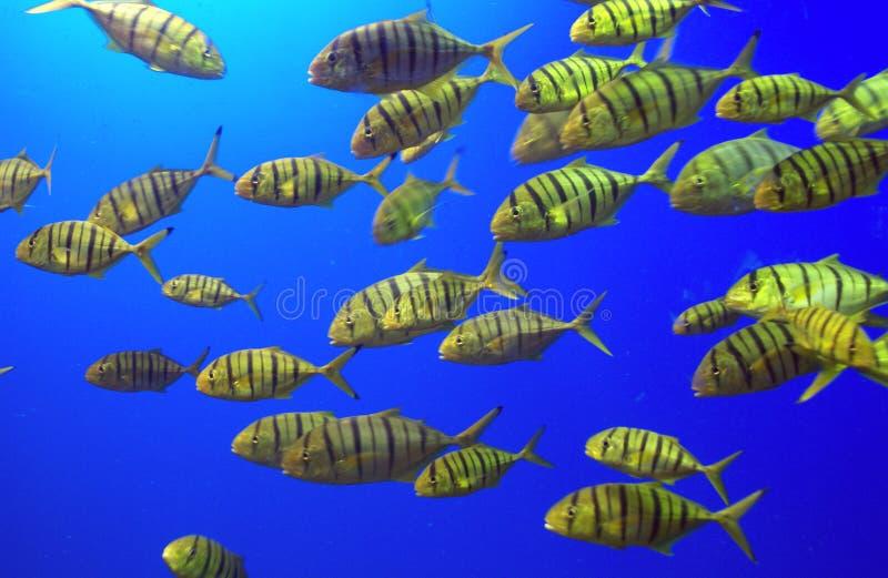 Uma escola de peixes amarelos foto de stock