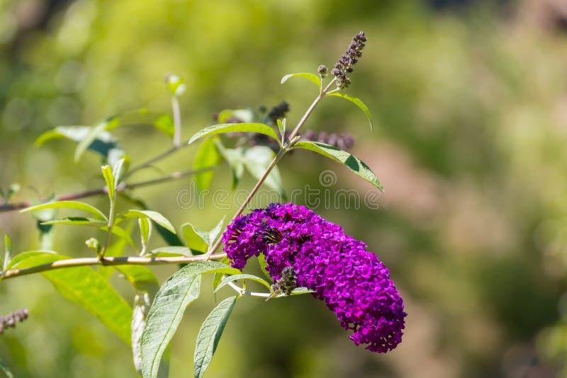 Uma escova de flores lilás em uma haste dobrou-se sob o peso imagem de stock royalty free