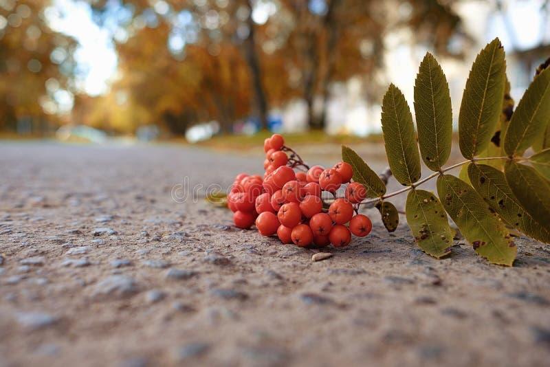 Uma escova de Rowan que encontra-se em um trajeto de asfalto no outono fotografia de stock