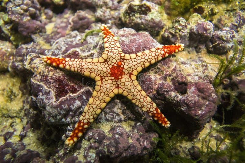 Uma estrela de mar elegante dos monilis de Fromia da estrela do mar foto de stock
