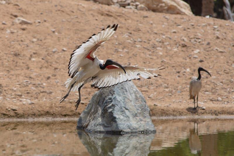Uma exibição da aterrissagem dos íbis sagrados fora de suas asas brancas e vermelhas bonitas contra um fundo arenoso perto de um  foto de stock