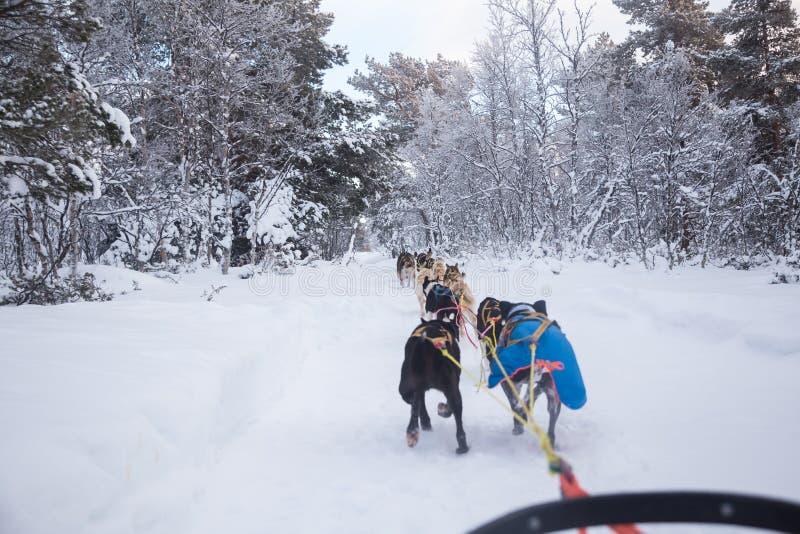 Uma experiência emocionante que monta um trenó do cão na paisagem do inverno Floresta nevado e montanhas com uma equipe do cão fotos de stock