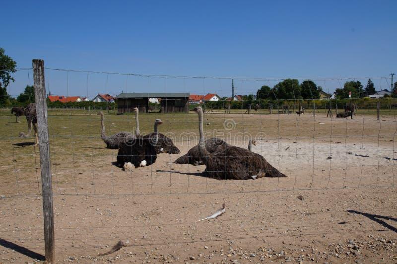 Uma exploração agrícola da avestruz foto de stock