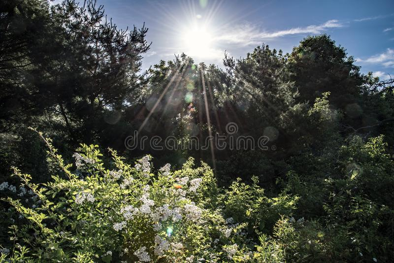 Uma explosão do sol da manhã espreita sobre as árvores e ilumina um arbusto de florescência imagem de stock