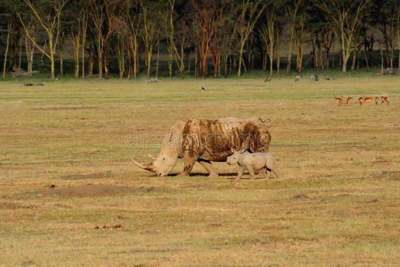 Download Uma Fêmea Do Rinoceronte Branco Com Uma Vitela Nova. Foto de Stock - Imagem de áfrica, curso: 16865772