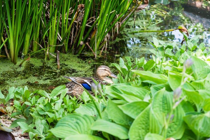 Uma fêmea mallard ana platyrhynchos parcialmente escondida por plantas aquáticas na borda de uma lagoa fotos de stock royalty free