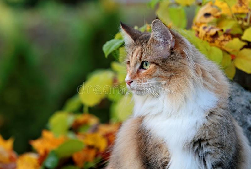 Uma fêmea norueguesa do gato da floresta senta-se no jardim fotos de stock