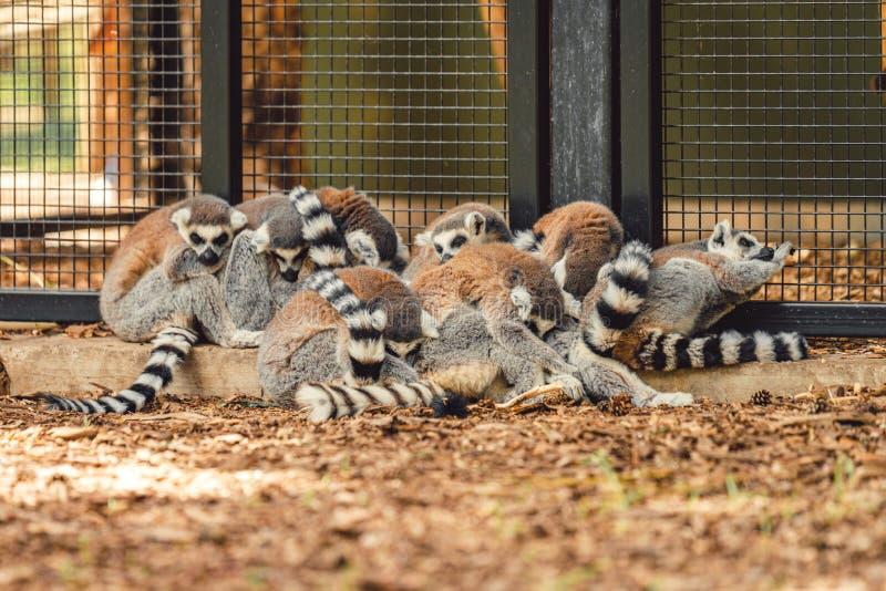 Uma família da aproximação dos lêmures junto para a segurança e o calor em um jardim zoológico no norte do Reino Unido imagem de stock