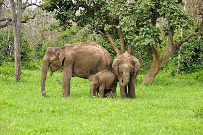 Uma família de elefantes asiáticos selvagens imagens de stock royalty free
