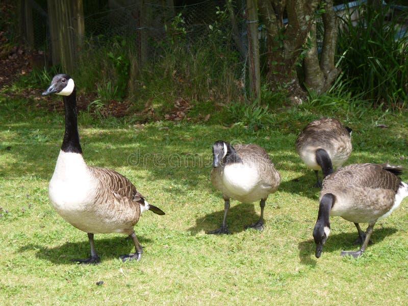 Uma família de gansos de Canadá foto de stock royalty free