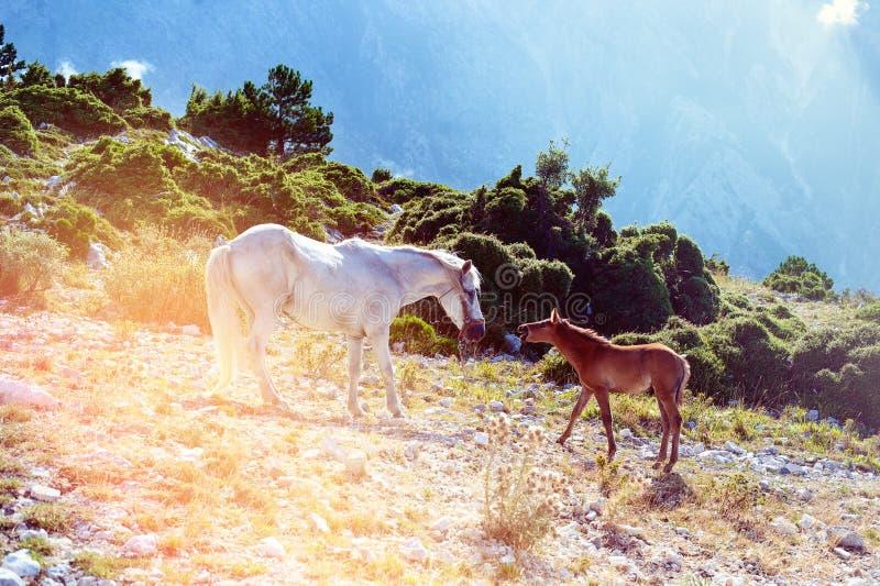 Uma família do cavalo na montanha pela passagem de Llogara em Vlora, com um fundo das nuvens fotografia de stock royalty free