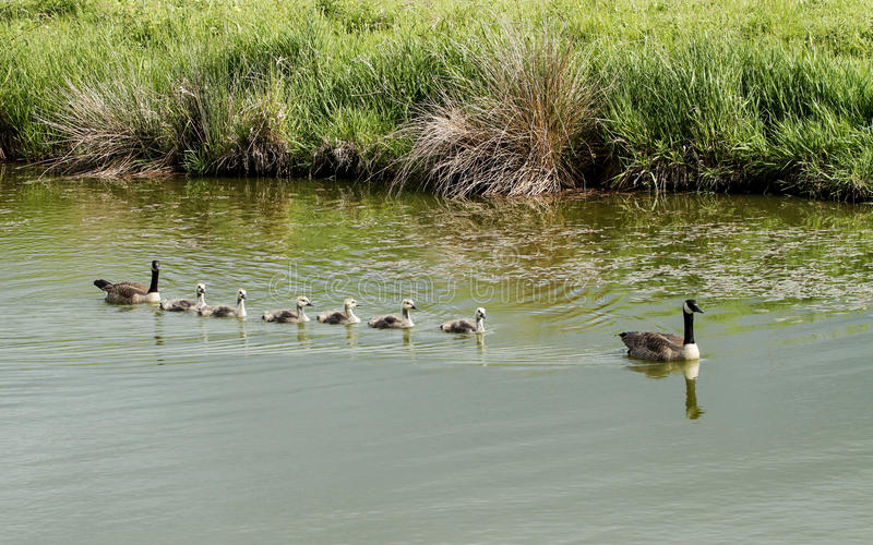 Uma família do ganso de Canadá fotografia de stock royalty free