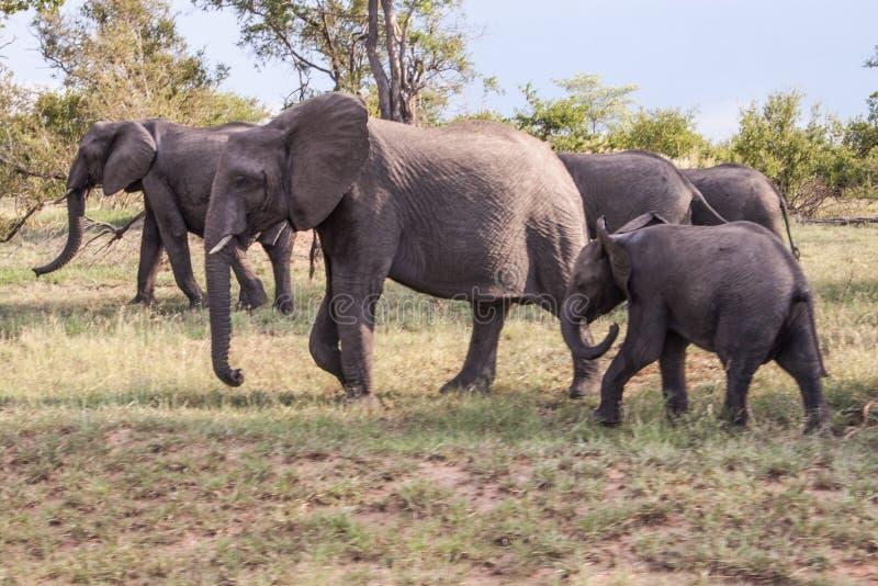 Uma família dos elefantes que pastam no savana africano fotografia de stock