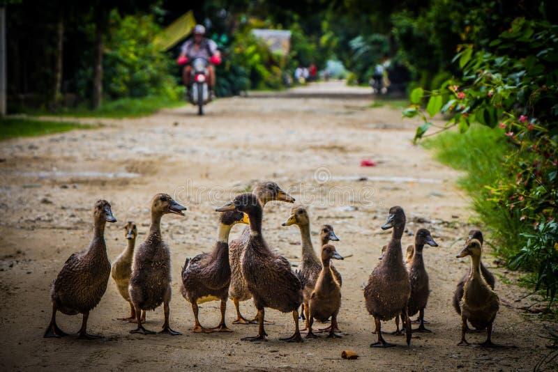 Uma fam?lia dos patos toma uma caminhada imagens de stock royalty free