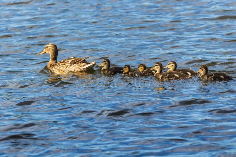 Uma família dos patos, um pato e seis patinhos pequenos estão nadando na água Uma linha fotos de stock royalty free